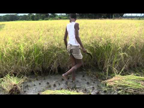 Farmers cut rice plants in the field of Bangladesh