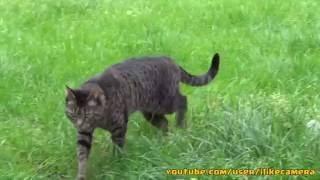 My cat is walking on grass