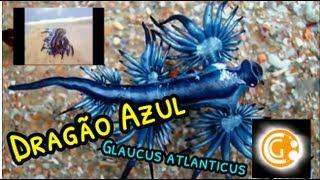 Biologia: Dragão Azul (Glaucus atlanticus) | Ciências Gerais