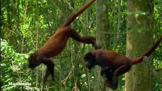 Onça subindo em árvore para tentar pegar macaco de cheiro da Amazônia