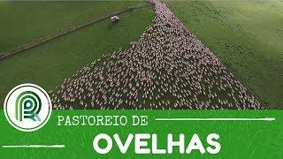 Cães de pastoreiro guiam mil ovelhas em vídeo incrível