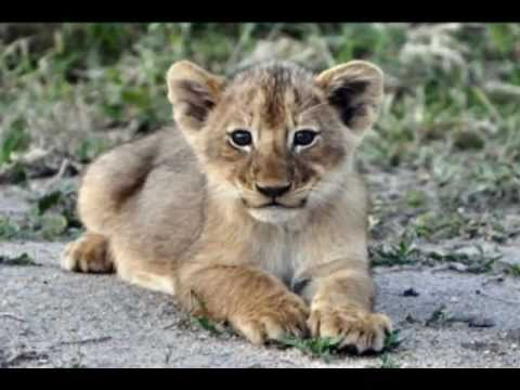 Pride of Lions with Cubs in Kruger National Park, South Africa