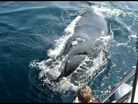 do Whale Watching in Hermanus (near Cape Town) with Percy Tours