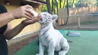 Super Cute Rare Baby White Tiger Cub Drinking Milk