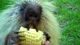 """Teddy Bear,"" the porcupine, doesn't like to share..."
