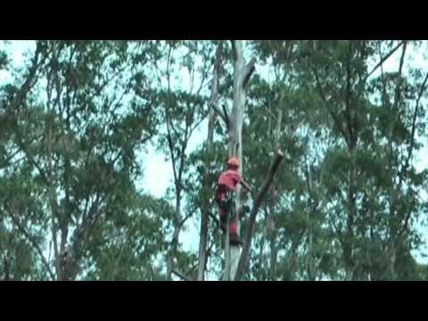 Bekaru Tree Part 4 Rigging of a 30 m high dead gumtree