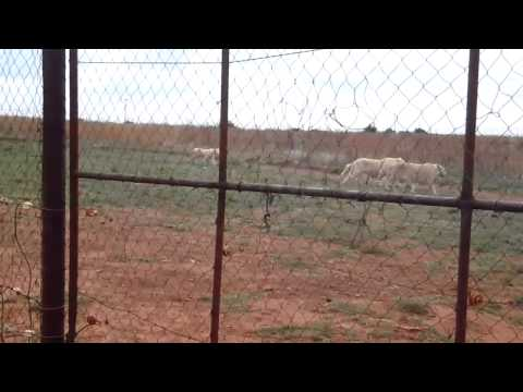 White Lions Walking Together in South Africa