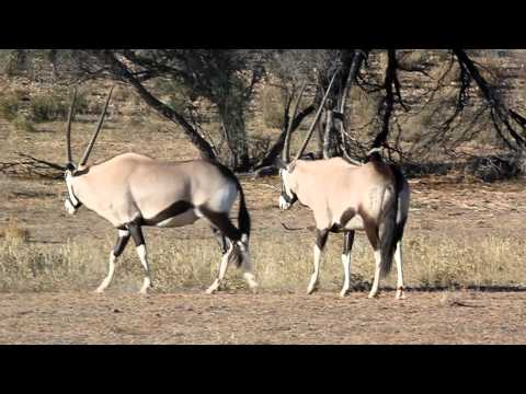 Kgalagadi Transfrontier Park – Fight gembock.MOV