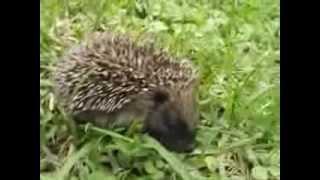 baby hedgehog walking in grass