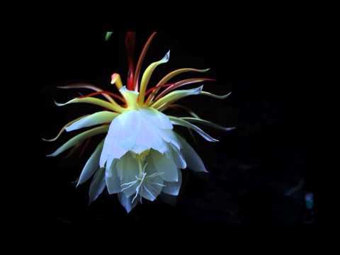曇花縮時攝影 Epiphyllum time lapse - YouTube