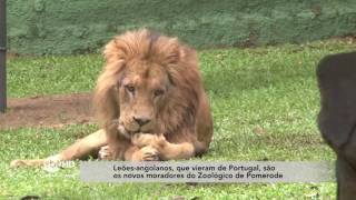Leões-angolanos, que vieram de Portugal, são os novos moradores do Zoológico de Pomerode