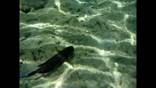 Surgeonfish Red Sea Egypt. Рыба-хирург Египет أسماك الجراح