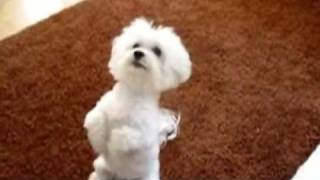 Tobi the smart Maltese Doing Dog Tricks