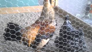 Calgaro Garnizé - Dicas para sua galinha ficar choca!