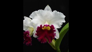 Linda orquídea cattleya semi alba pré adulta White dream red lip