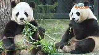 Panda Porn! (Pandas Pt 4)