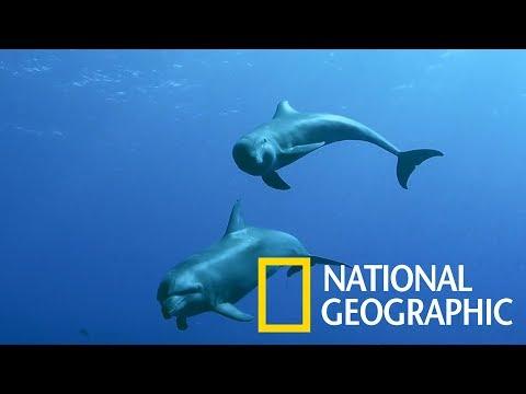 這頭瓶鼻海豚「養母」領養了一頭瓜頭鯨孤兒《國家地理》雜誌 - YouTube