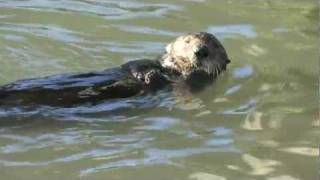 Sea Otter Using a Rock to Open Clams