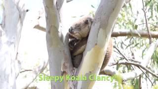 Wild koala smiles