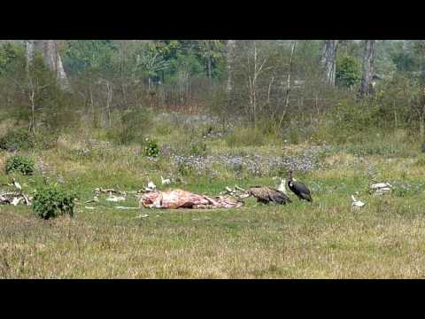 Vultures coming to feed on a dead cow