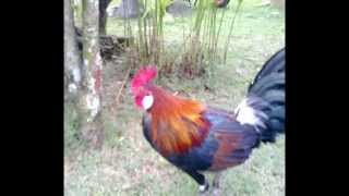 red jungel fowl...