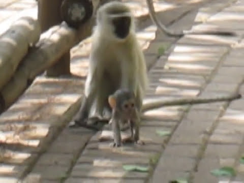 baby vervet monkeys at play south Africa 2011-2012 464.MOV