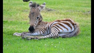 It's All About The Stripes- WELCOME BABY ZEBRA