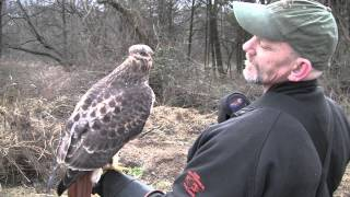 Rabbit Hunting with Red Tail Hawks