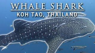 Sail Rock Whale shark