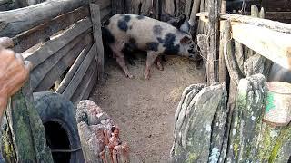 Como o porco paquera a porca