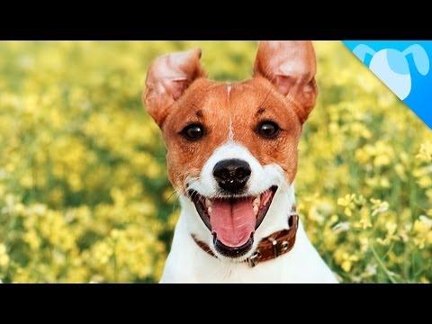 Come accudire un cucciolo di Jack Russell Terrier