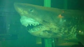 The Dark Truth Behind Rosie The Abandoned Great White Shark