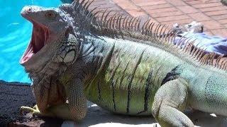Are iguanas dangerous?