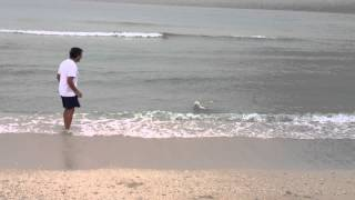 Bichón maltés en el agua