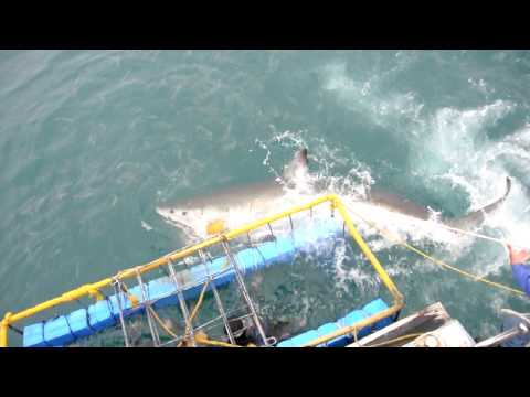 Sharkattack 2 on cage Gansbaai South Africa