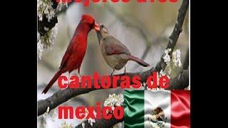 mejores aves cantoras de mexico