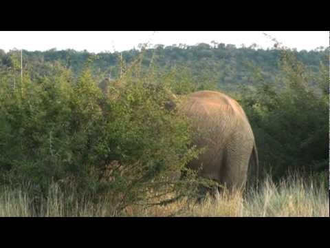 Game Drive in Madikwe South Africa from Rhulani Safari Lodge – Elephant Charges Our Land Rover.mpg