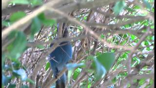 Steller's Jays common calls