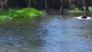 Búfalos selvagem em Rondônia