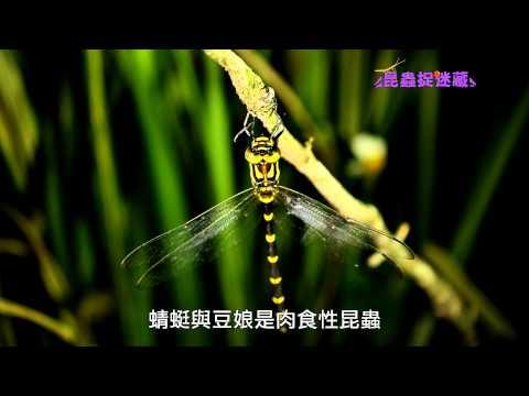 《昆蟲捉迷藏》【水空兩棲霸主:蜻蜓與豆娘】 - YouTube