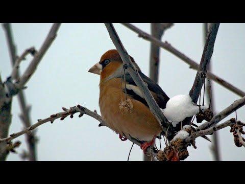 Grubodziób - zimną dokarmiamy ptaki: ulubiony pokarm grubodziobów