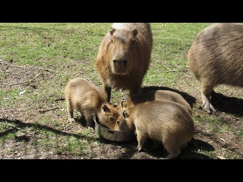 Bonnie and Clyde's capybara pups | The World