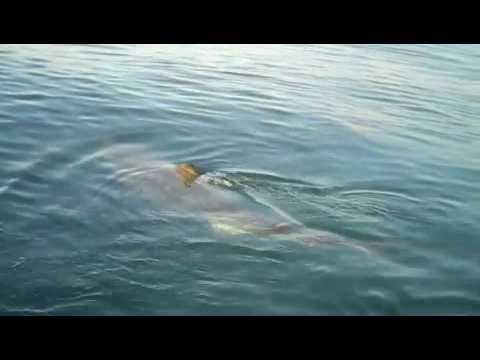 gw shark dive, gis, silk, eduardo