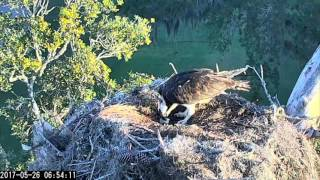 Female Osprey Removes Last Eggshell From Nest Bowl in Savannah – May 26, 2017
