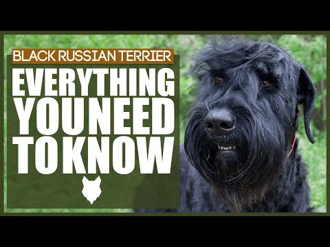 BLACK RUSSIAN TERRIER 101! Everything You Need To Know!