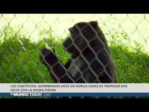 Científicos asombrados con un gorila que tropieza dos veces con la misma piedra | El Mundo Today 24H