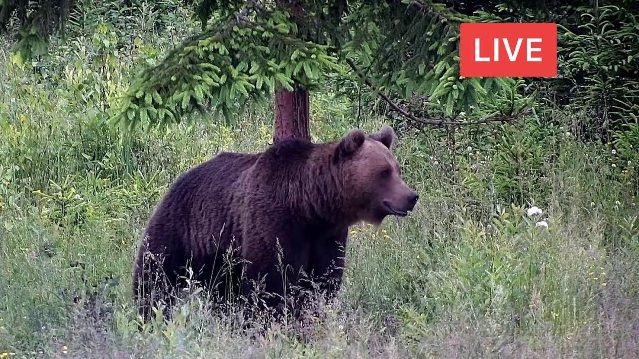 Live Observatorul de Ursi