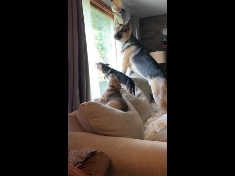 Dogs Stop Howling Immediately When Owner Orders Them to Stop