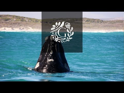 4 Whale Breaches in 30 sec – Walker Bay, South Africa