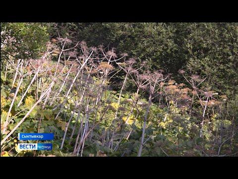 В Сыктывкаре продолжается борьба с борщевиком